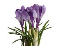 Цветки весны крокуса Стоковое Фото