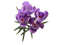 Цветки весны крокуса Стоковое фото RF