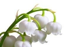 Цветки весны ландыша Стоковое Изображение