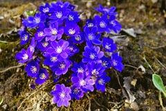 Цветки весны мехового куста первые Стоковые Фотографии RF