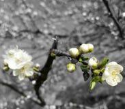 Цветки весны на дереве в фотографии макроса стоковая фотография