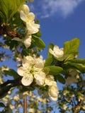 Цветки весны на деревьях Стоковые Изображения