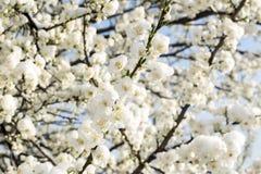 Цветки весны покрытые с снегом Стоковые Изображения RF