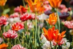 Цветки весны полностью зацветают на солнечный праздник Первого Мая на садах Frederik Meijer в больших рейдах Мичигане стоковые фотографии rf