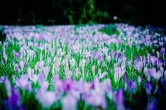 Цветки весны поля крокуса предыдущие Стоковое фото RF