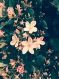 Цветки весны розовые: как романтичный! Стоковые Фото