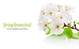 Цветки весны фруктовых дерев дерев изолированных на белой предпосылке Стоковое Изображение