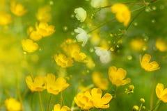 Цветки весны лютика мягкие Стоковое Изображение