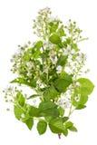 Цветки весны backberry белые Стоковое Изображение RF