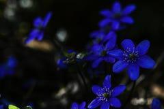 Цветки весны feilchen Стоковая Фотография