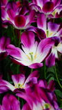 Цветки весны: magenta/фиолетовые тюльпаны закрывают вверх Стоковые Изображения RF