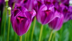 Цветки весны: magenta/фиолетовые тюльпаны закрывают вверх Стоковые Фотографии RF