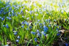 Цветки весны Scilla голубые чувствительные Стоковая Фотография RF