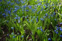 Цветки весны Scilla голубые чувствительные Стоковые Фотографии RF