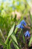 Цветки весны Scilla голубые чувствительные Стоковое Изображение RF