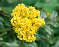 Цветки виноградины Орегона Стоковые Изображения