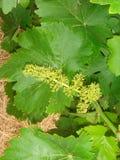 Цветки виноградины Стоковая Фотография RF