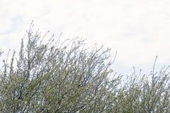 Цветки вишневого дерева с голубым небом против детенышей весны цветка принципиальной схемы предпосылки белых желтых Стоковые Изображения