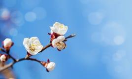 Цветки вишневого дерева с голубым небом Стоковые Фото