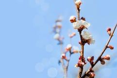 Цветки вишневого дерева с голубым небом Стоковое фото RF