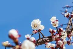 Цветки вишневого дерева с голубым небом Стоковые Изображения