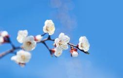 Цветки вишневого дерева с голубым небом Стоковые Фотографии RF