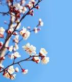 Цветки вишневого дерева с голубым небом Стоковая Фотография RF