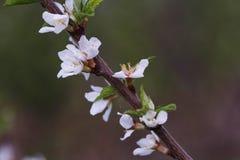 Цветки вишневого дерева цветения закрывают вверх Стоковые Изображения