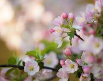 Цветки вишневых цветов на весенний день Стоковая Фотография