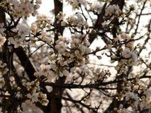 Цветки вишневых цветов после дождя Стоковое Изображение RF
