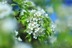 Цветки вишневых цветов Стоковое Фото