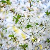 Цветки вишни весны Blossoming на яркой запачканной предпосылке Стоковое фото RF