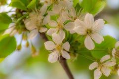 Цветки вишни в milky мечтательном возникновении стоковые изображения