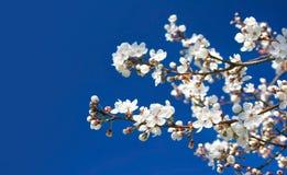 Цветки вишни на голубой предпосылке Стоковые Фото