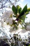 Цветки вишни на солнечный весенний день Стоковые Изображения