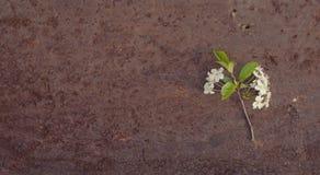 Цветки вишни на старом утюге листа Стоковые Фотографии RF