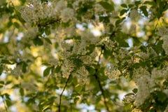 Цветки вишни птицы в цветении Стоковая Фотография RF