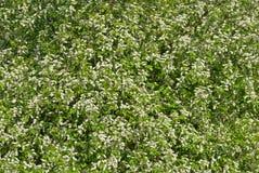 Цветки вишни птицы. Стоковая Фотография RF