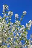 Цветки вишни, яблони против голубого неба стоковое изображение rf