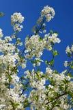 Цветки вишни, яблони против голубого неба стоковая фотография rf