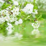 Цветки вишни Стоковые Изображения