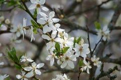 Цветки вишни Стоковое Изображение RF