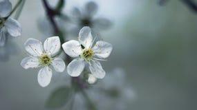 Цветки вишни Стоковые Фото