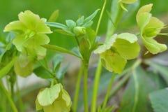 Цветки волшебного Helleborus зацветая Стоковые Изображения
