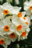 Цветки времени весны белые закрывают вверх стоковое фото