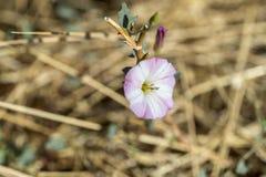Цветки вьюнка поля, arvensis повилики Стоковые Изображения