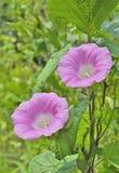 Цветки вьюнка 5 Стоковые Изображения