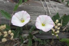 Цветки вьюнка Стоковые Изображения