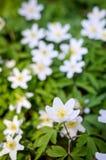 Цветки в апреле ветреницы Стоковое Изображение