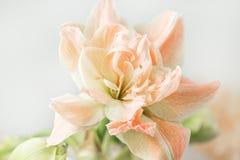 Цветки в большой стеклянной вазе Красивые цветения цветка амарулиса Полевые цветки - Hippeastrum сбор винограда бумаги орнамента  Стоковые Изображения